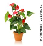 Whole Plant Anthurium In A Pot...