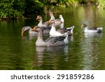 gray geese swim in the green... | Shutterstock . vector #291859286