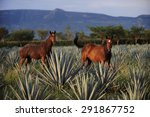 Horses At Agave Field For...