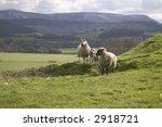 Sheep On A Hillside On A Sunny...