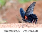 Great Mormon Butterfly Eating...