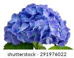 Purple Hydrangea Flower Close...