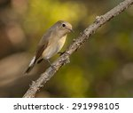 red breasted flycatcher ... | Shutterstock . vector #291998105
