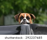 Cute Boxer Dog Resting Head An...