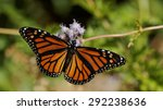Monarch Sipping Nectar From A...