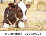 Calf Lying On Staw