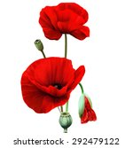 Red Poppy Flower Isolated On...