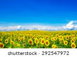 Blooming Field Of Sunflowers On ...