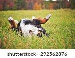Bernese Mountain Dog Rolling I...