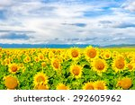 Sunflowers On A Large Field Of...