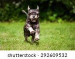 Happy Miniature Schnauzer Dog...