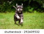 Happy Miniature Schnauzer Dog...