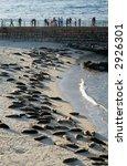 Dozens Of Harbor Seals Sleepin...