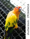 Small photo of Parrot Lovebird (lat. Agapornis) sits on metal grid, closeup.