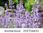 Catnip Flowers  Nepeta   In...