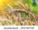 closeup of a barley ears in... | Shutterstock . vector #292769735