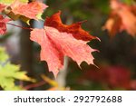 A red maple leaf and other fall colors during autumn in Halifax, Nova Scotia Canada