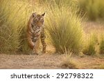 tiger in a beautiful golden... | Shutterstock . vector #292798322