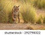 tiger in a beautiful golden... | Shutterstock . vector #292798322