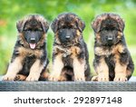 Stock photo three little german shepherd puppies sitting on the bench 292897148