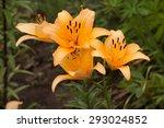 Three Big Orange Lilies With...