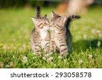Stock photo two little tabby kittens kissing 293058578