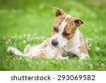 Stock photo american staffordshire terrier dog playing with little kitten 293069582