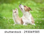 Stock photo american staffordshire terrier dog playing with little kitten 293069585