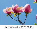 Spring Blossoms Of A Magnolia...
