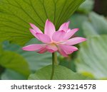 Close Up Of A Lotus Flower And...