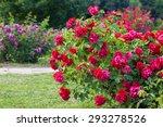 Stock photo roses bush on garden landscape 293278526