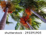 Palm Fruit Is On The Tree.