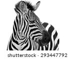 Zebra Close Up Portrait. Zebra...