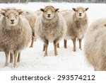 Three Sheep  Standing Together...