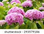 Large Pink Hydrangea Flowers...