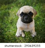 Stock photo a cute chihuahua pug mix puppy chug looking at the camera with with grass in his mouth in a 293639255