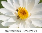 White Waterlily With Bees