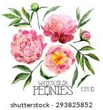 watercolor peonies set.  vector ... | Shutterstock .eps vector #293825852