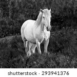 White Camargue Horse Standing...