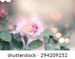 Stock photo garden rose 294209252