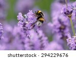Bumblebee On Lavender