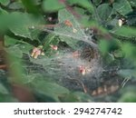 Small photo of funnel-web spider - Agelena labyrinthica