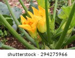 Flowering Zucchini In The...