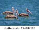 Three Of Spot Billed Pelican ...