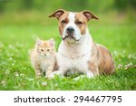 Stock photo american staffordshire terrier dog with little kitten 294467795