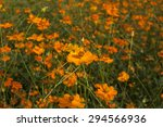 yellow cosmos flowers background | Shutterstock . vector #294566936