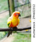 Small photo of Parrot Lovebird (lat. Agapornis) sits on perch, closeup.