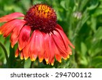 Cone Flower Close Up