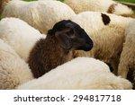 Black Face Sheep    Black Shee...