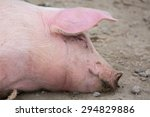 Signle Pink Pig Wallowing In...
